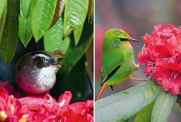 White-browed Fulvetta and Fire-tailed Myzornis