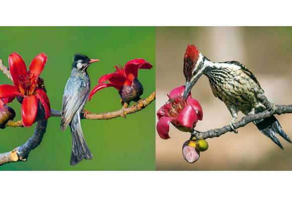Black Bulbul and Lesser Goldenbacked Woodpecker